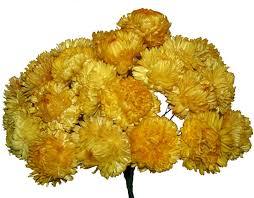 straw flowers straw flowers yellow 50 stems dried flowers r us