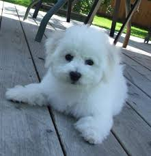 bichon frise puppy cut bichon frise puppies in oregon our 2010 bichon frise puppies and