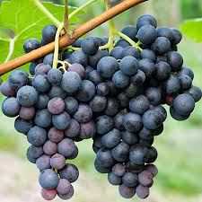 Grape Trellis For Sale Concord Grape For Sale Fast Growing Trees