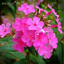 Phlox Flower Popular Phlox Flower Seed Buy Cheap Phlox Flower Seed Lots From