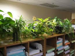 Office Plants Plants For Cubicle Hangzhouschool Info