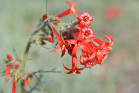 colorado native plants list ipomopsis aggregata scarlet gilia fairy trumpets colorado