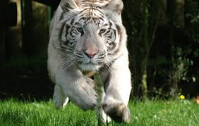 get to white tigers in hertfordshire paradise wildlife park