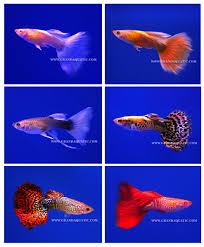 guppy fish ornamental fish exporter buy ornamental fish