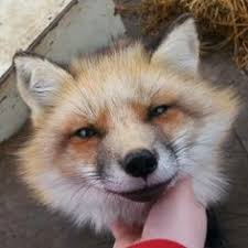 i don u0027t like the fact that he u0027s chained but lord is he cute fox