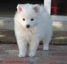 american eskimo dog ireland american eskimo breed