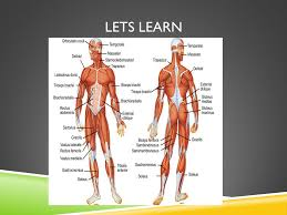 Human Anatomy Upper Body Upper Body Muscles Of The Chest And Back Objective Students