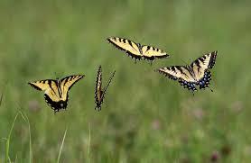 field of butterflies illinois