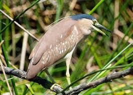 Heron Meaning by Rufous Nankeen Night Heron Nycticorax Caledonicus