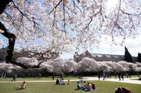 Cherry Blossom Tree Facts by Uw Cherry Blossoms Uwcherryblossom Twitter