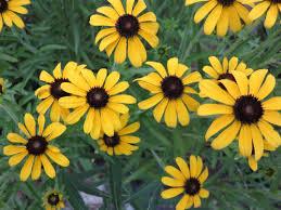missouri native plant nursery what u0027s blooming in penny u0027s yard missouri coneflower wild ones
