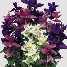 salvia flower salvia horminum seeds bouquet mix salvia seeds flower seeds