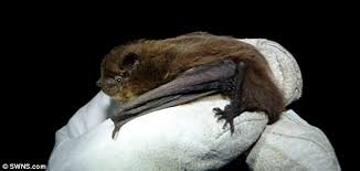 small bat do bats migrate daily mail