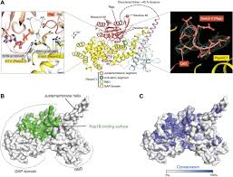 Rap Map Structural Basis For Activation And Non Canonical Catalysis Of The
