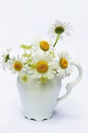 Daisy The Flower - 120 best floral daisy images on pinterest flowers spring and