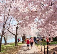 cherry blossoms in washington dc visiting before during peak