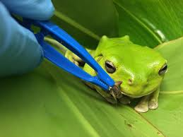 jeff the green tree frog currumbin wildlife hospital foundation