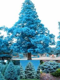 visit to buy high quality 100 pcs colorado blue spruce tree seeds
