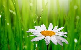 camomile white flower green grass background wallpaper