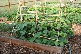 Can Cucumbers Grow Up A Trellis Cucumbers U2013 So You Want To Make Salads And Pickles Town