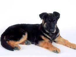 Dog Wallpapers V 281 Rottweiler Dogs Wallpapers Hd Images Of Rottweiler Dogs