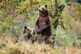 Animal Planet Documentary Grizzly Bears Full Documentaries - dark days ahead for british columbia s grizzly bears pacific wild
