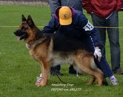 belgian sheepdog breeders ontario amalaberg