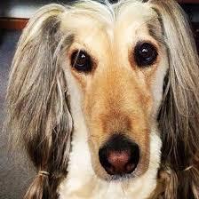 afghan hound least intelligent 18 extremely stubborn dog breeds