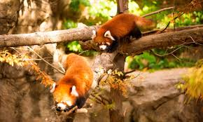 Lincoln Park Zoo Light Hours by Red Panda Cubs Leaving Lincoln Park Zoo Chicago Tonight Wttw