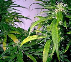 Recovering Cannabis Plants From High by Marijuana Plant Problems U2013 Yellow Leaves Brown Spots U2013 Curly Leaves