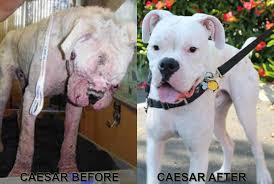 boxer dog mean about white boxers west coast boxer rescue