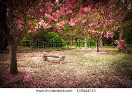blossom tree stock images royalty free images u0026 vectors