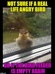 Angry Birds Meme - real life angry bird imgflip