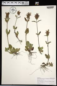 native plants of alabama prunella vulgaris ssp lanceolata species page apa alabama