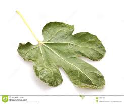 dry fig leaf stock photo image 27037100