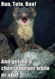 Weasel Meme - animal capshunz weasel funny animal pictures with captions