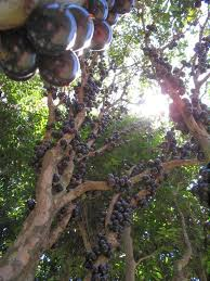 jabuticaba u2013 the tree that fruits on its trunk kuriositas