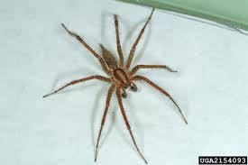 Common Bathroom Bugs Common Grass Spider Likes My Bathroom Flora And Fauna Of My