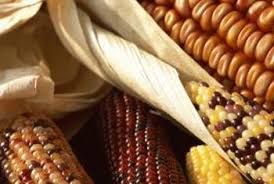 how to harvest ornamental corn home guides sf gate