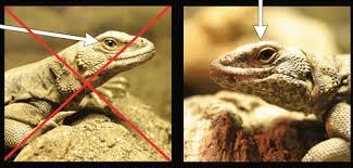bearded dragon lighting guide lighting information