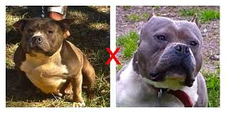 american pitbull terrier game bred bloodlines american pit bull terrier for sale ads free classifieds