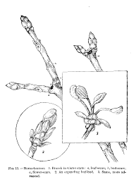 the project gutenberg ebook of outlines of lessons in botany part