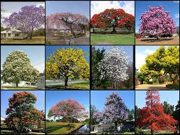 most beautiful flowering trees of the world not my photos flickr