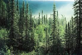 pine tree forest desktop wallpapers 14766 amazing wallpaperz