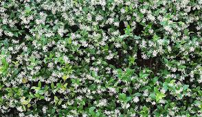 Which Jasmine Plant Is Most Fragrant - how to add charm to your garden stuff co nz