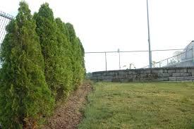 decorating wonderful emerald green arborvitae for garden or