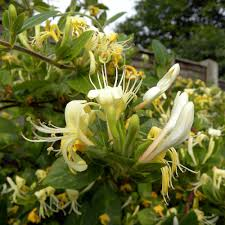 honeysuckle u0027scentsation u0027 plants thompson u0026 morgan