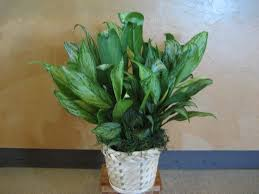 exotic tropical chinese evergeen houseplants