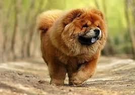 lion dogs the chow chow lion dog