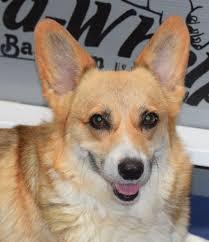 corgi corgi puppies available justk9s